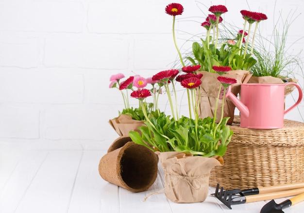 Gartengeräte und gänseblümchen frühlingsblumen bereit zum pflanzen