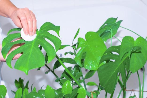 Gartenhaus. frau wässert und wäscht grüne pflanzen im hauptbad.