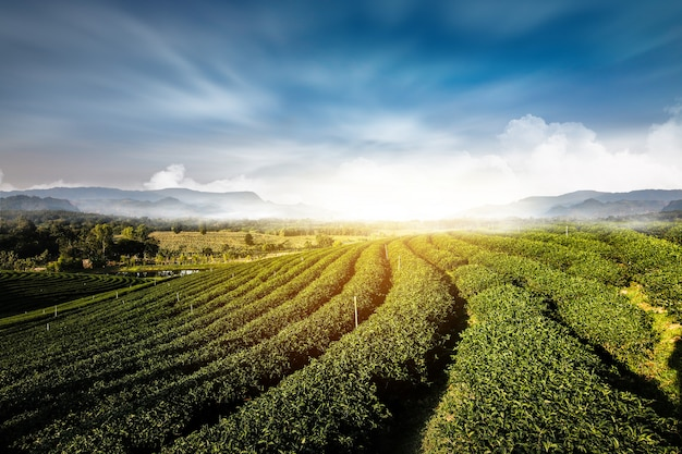 Gartenlandschaftssonnenuntergang-hügelbearbeitung des grünen tees