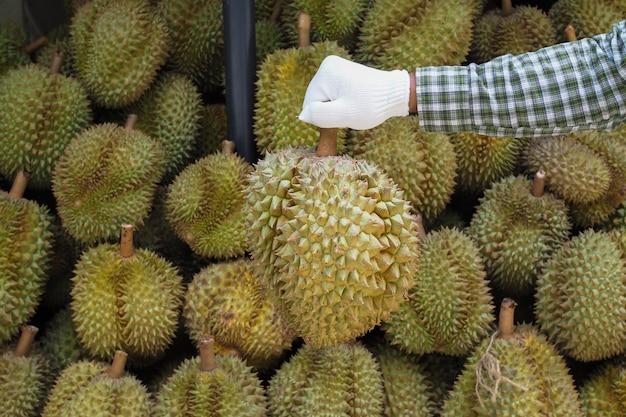 Gartenmann halten durianfrucht. gelbe frucht, könig der früchte in thailand.