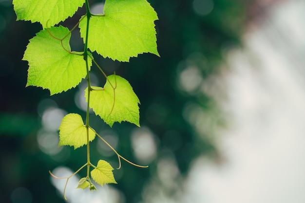 Gartennaturökologie der weinrebe grüne. grüne blattbeschaffenheit des hohen details der nahaufnahme mit chlorophyll und prozess der photosynthese in der anlage.