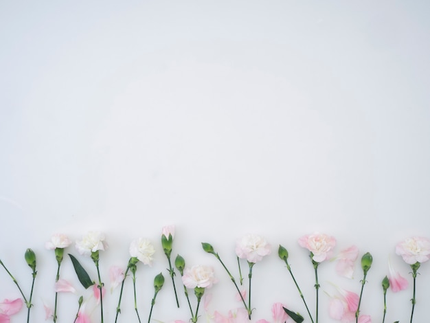 Gartennelkenblumen auf einem weißen hintergrund