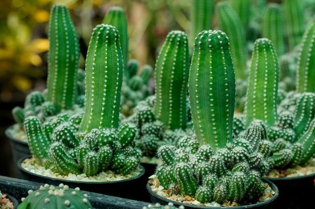 Gartenpflanzenkaktus in kleinen töpfen zu verkaufen.