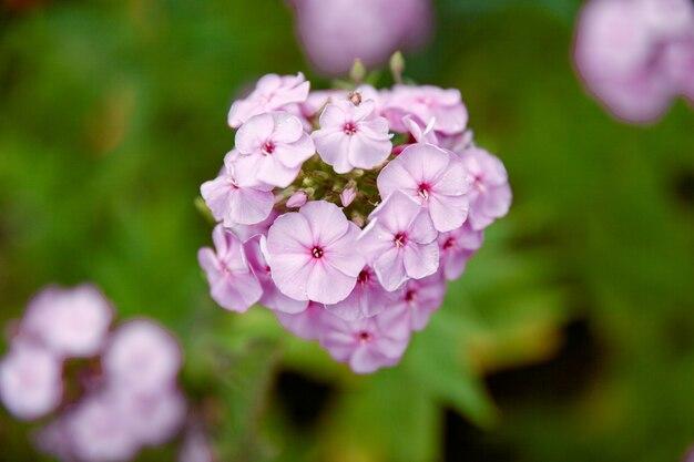 Gartenphlox, sommerblumen. schöner lila phlox.