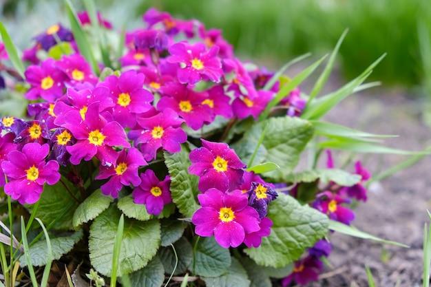 Gartenprimel blühte im frühjahr im garten.