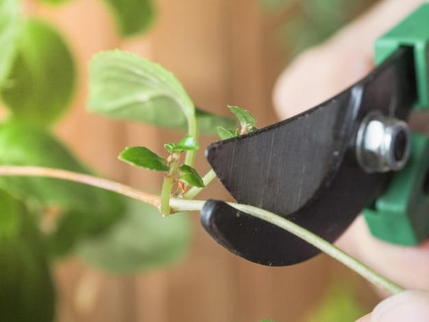 Gartenschere und triebe von pflanzen in den händen des gärtners