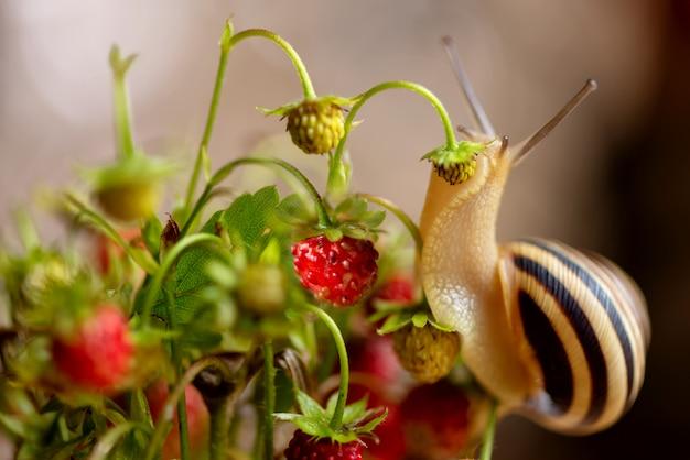 Gartenschnecke kriecht auf einem zweig wilder erdbeeren