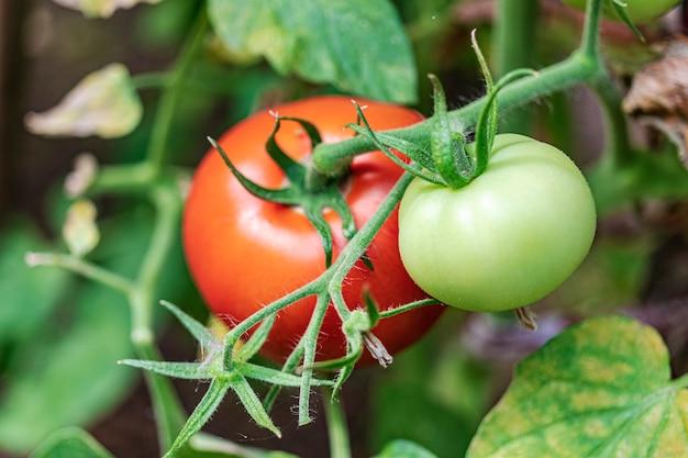 Gartentomaten auf dem busch. würziges gemüse auf dem bauernhof. anbau natürlicher tomaten unter natürlichen bedingungen ohne peszide. nicht-gmo-produkte. selektiver fokus.