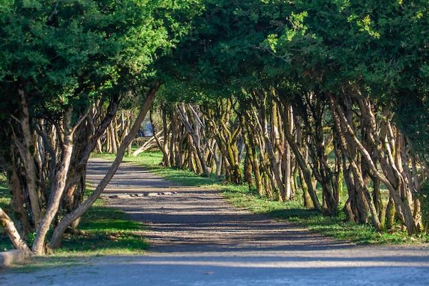 Gasse mit weglinie der bäume am dadiani-garten. zugdidi, georgia. reise.