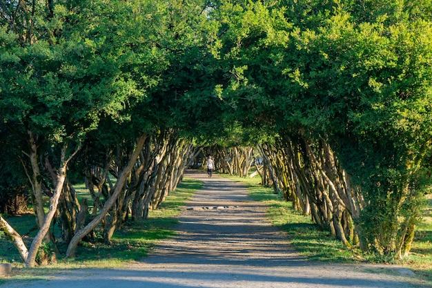 Gasse mit weglinie der bäume am dadiani-garten. zugdidi, georgia.