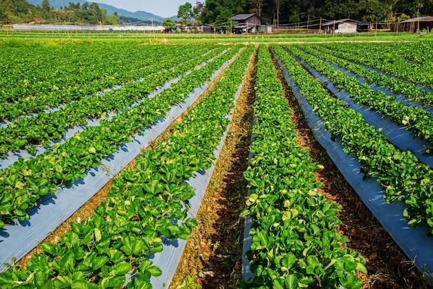 Gastfamilie in der natürlichen gartenerdbeere in chiangmai thailand