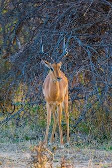 Gazelle auf safari für afrika auf meiner hochzeitsreise im oktober 2017
