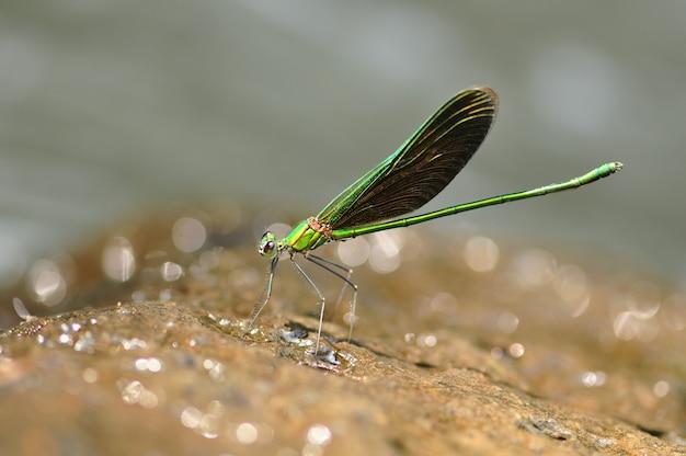 Gebänderte prachtlibellen-libellenmakronahaufnahme