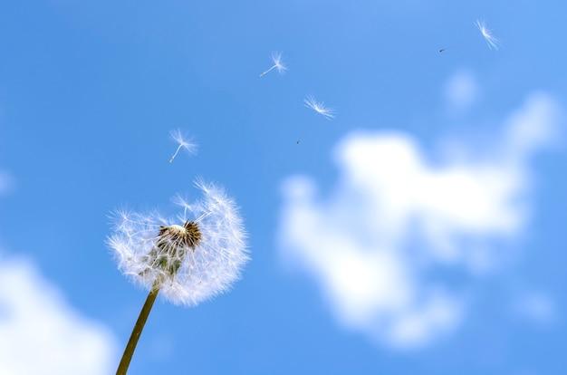 Geblasener löwenzahn auf einem blauen himmel