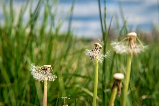 Geblasener löwenzahn auf einer grünen wiese im gras
