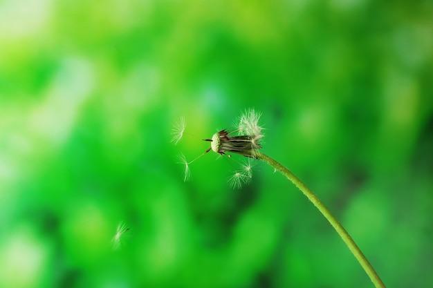 Geblasener löwenzahn auf grünem unscharfem hintergrund