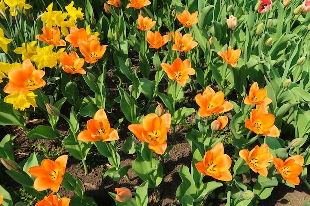 Geblühte orange tulpen blüht auf dem blumenbeet unter anderen tulpenknospen