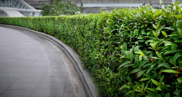 Gebogener grüner bush-zaun entlang des gehwegs