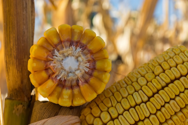 Gebrochener maisstiel mit dünnem stamm und großem korn