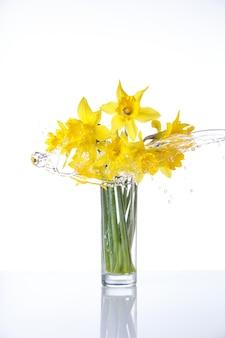 Gebundene narzisse isoliert auf weißer oberfläche, sommerblumen im glas mit wasserspritzern, mit reflexion