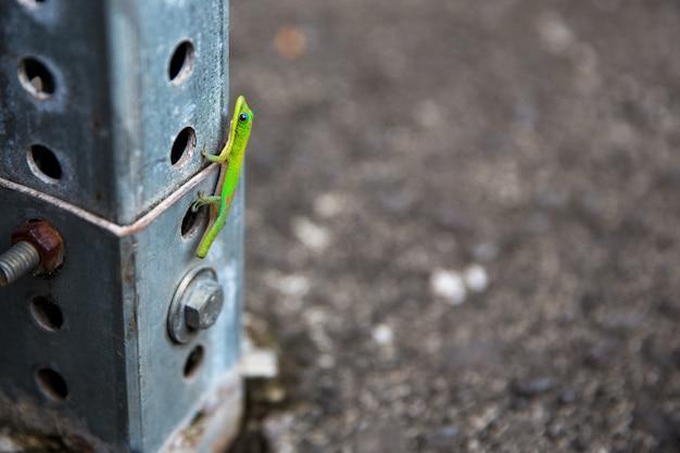 Gecko klettert hoch