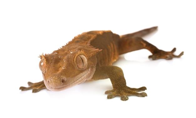 Gecko mit haube im studio