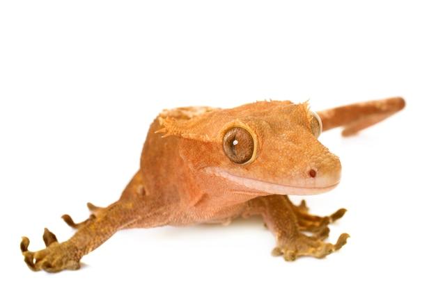 Gecko mit haube