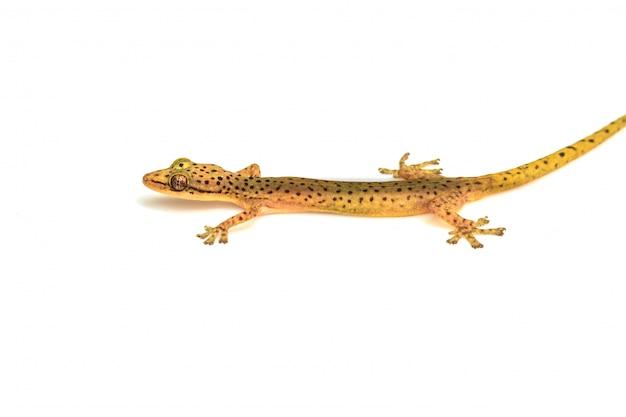 Geckoeidechse lokalisiert auf weiß