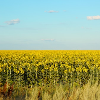 Gedrehte sonnenblumen auf hintergrund des blauen himmels