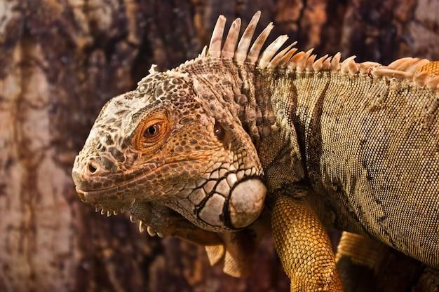Geen iguana: vollständige klassifizierung iguana iguana - reptilia - squamata - saura