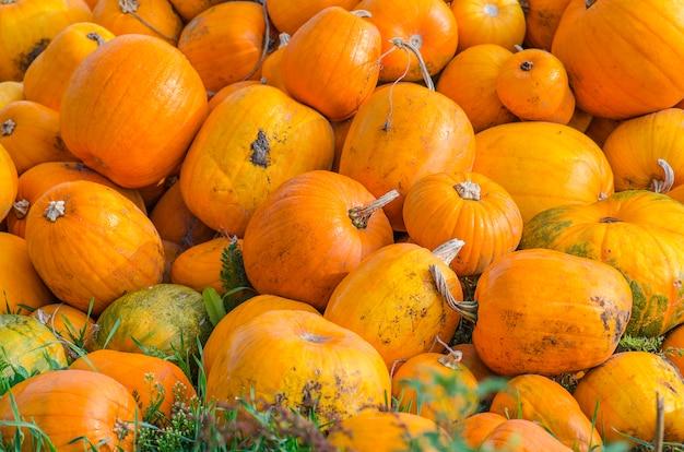 Geerntete orange kürbisse