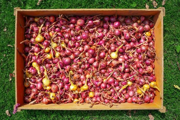 Geerntete reife rote zwiebeln im kasten