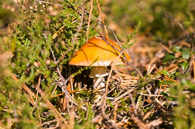 Gefährlich für menschen wilde giftige pilze, die im wald wachsen, nahaufnahme in freier wildbahn