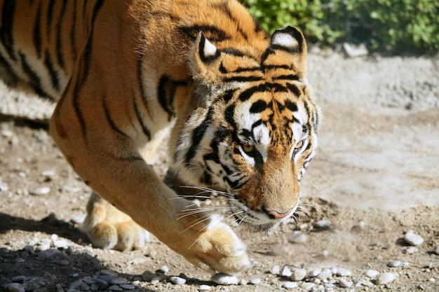 Gefährlicher bengal-tiger