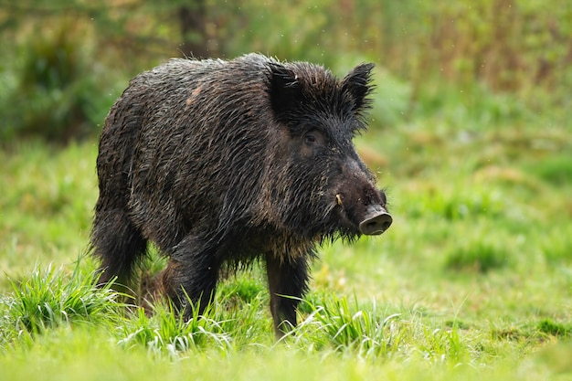 Gefährlicher wildschweinmann mit weißen stoßzähnen auf grüner wiese im sommer