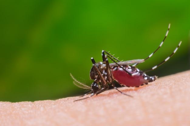 Gefährlicher zica virus aedes aegypti moskito auf menschlicher haut