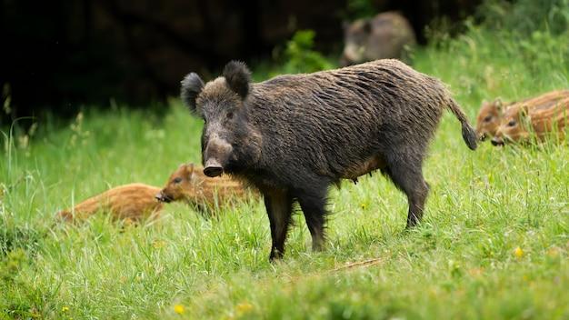 Gefährliches weibliches wildschwein, das ihre kleinen jungen ferkel im frühling schützt.