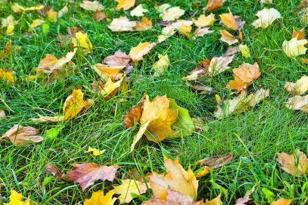 Gefallene blätter liegen im herbst im gras