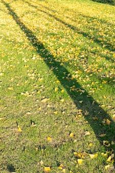Gefallene blätter von ginkgobäumen auf gras im herbstpark
