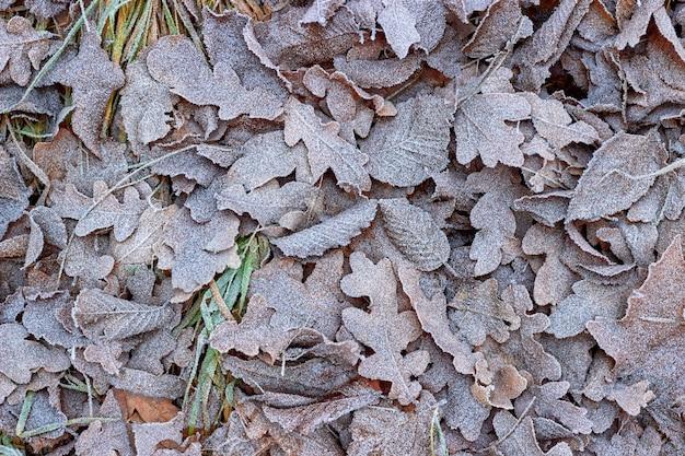 Gefallene herbst-eichenblätter auf dem mit raureif bedeckten gras. hallo herbst