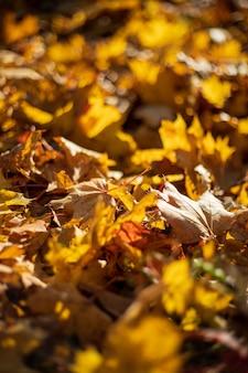 Gefallene herbstahornblätter, die unter sonnenuntergangslicht auf dem boden liegen. geringe schärfentiefe. selektiver fokus am zentralblatt.