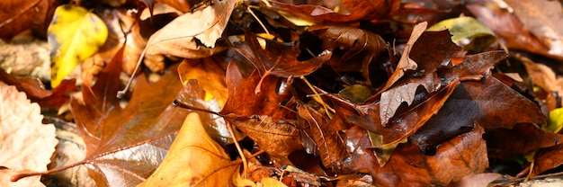 Gefallene herbstahornblätter sind rot und feucht.
