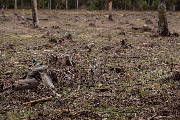 Gefallene kiefern im wald. abholzung und illegaler holzeinschlag, internationaler handel mit illegalem holz. stumpf des gefällten lebenden baumes im wald. zerstörung der tierwelt.