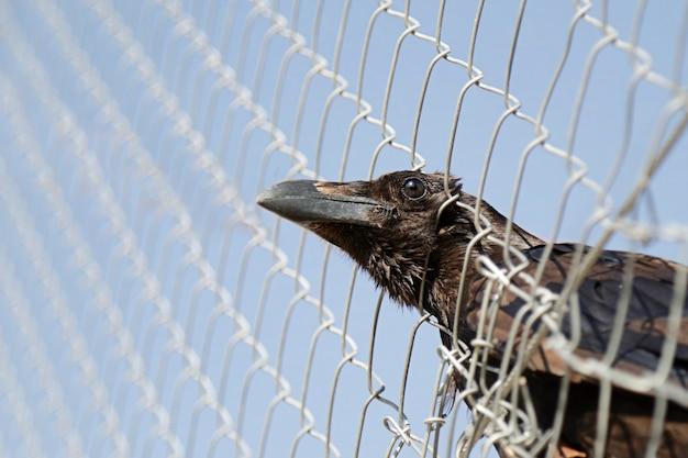 Gefangener gemeiner rabe (corvus corax), der seinen kopf durch einen drahtzaun herausstreckt