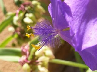 Gefiederten blaue blume, blüte