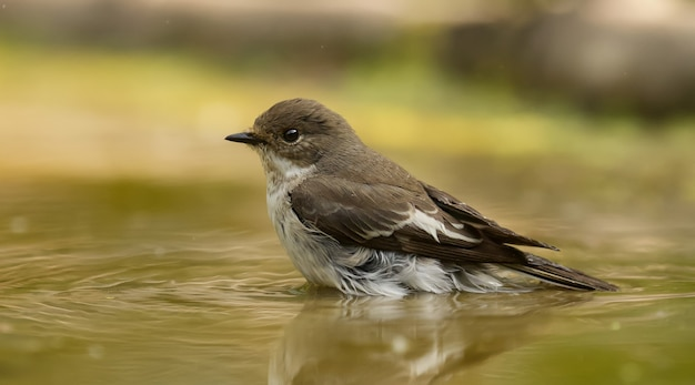 Gefleckter fliegenfänger, der auf dem wasser sitzt