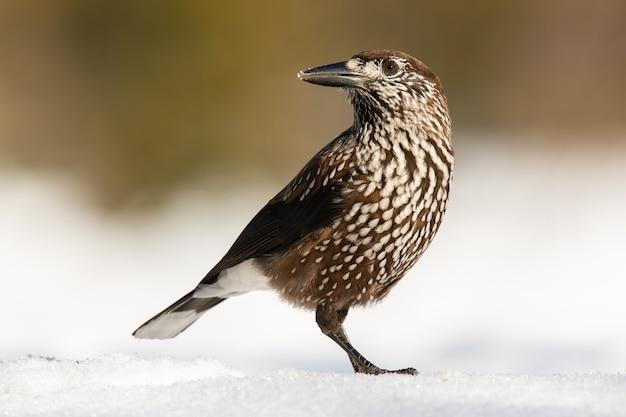 Gefleckter nussknacker, der auf schnee in der winternatur steht