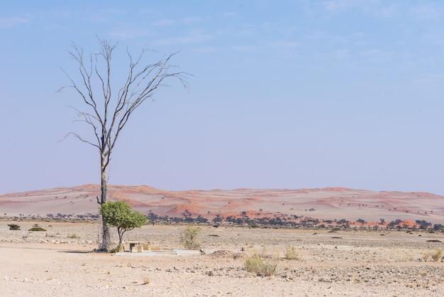 Geflochtener akazienbaum und rote sanddünen.