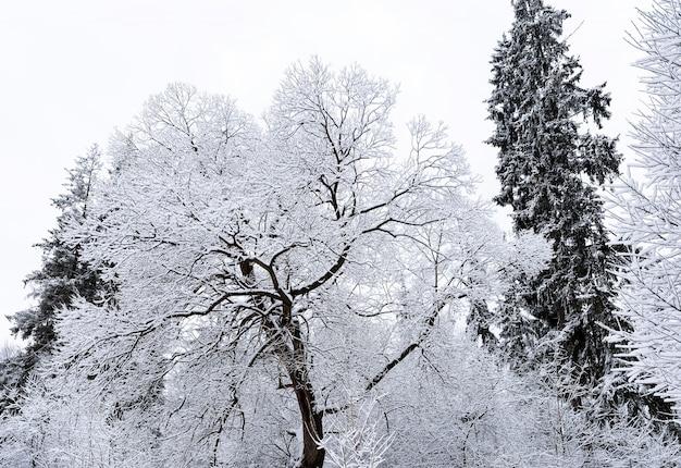 Gefrorene hohe kiefern mit eis und schnee in dorf vatra dornei in rumänien