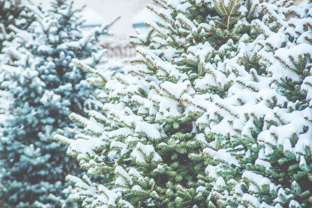 Gefrorene nadelzweige im weißen winter. schneesturm.